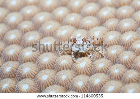 boxing crab with anemone - stock photo