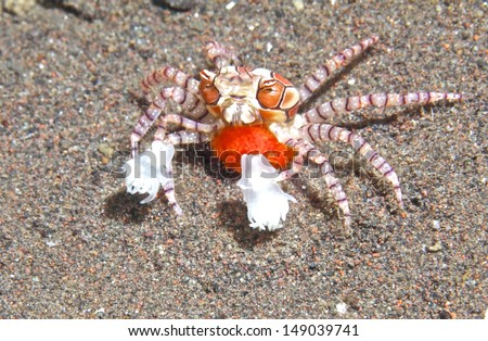 Boxing crab with eggs. - stock photo