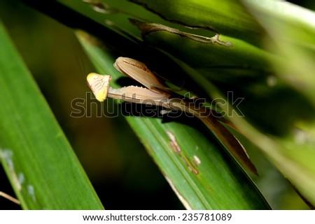 Boxing grasshopper on leaf - stock photo