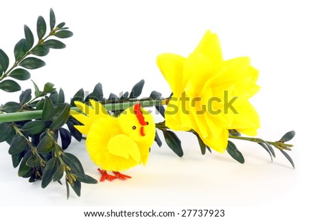 Boxtree, narcissus and small chicken on Easter