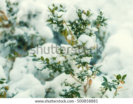 Boxwood  bush covered wit snow. Winter natural background