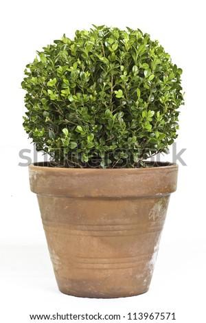 Boxwood plant - stock photo