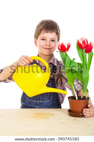 Boy care red tulips in the pot, isolated on white