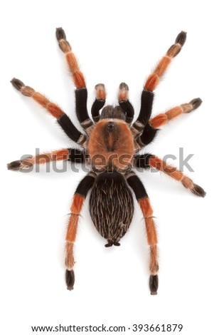 Brachypelma boehmei, Mexican Redleg or Rustleg Tarantula, top view close up, isolated on white background