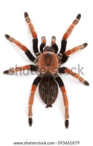 Brachypelma boehmei, Mexican Redleg or Rustleg Tarantula, top view close up, isolated on white background - stock photo
