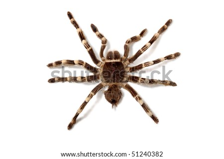 Brachypelma Smithi Mexican Redknee bird spider tarantula Isolated with clipping path on white background - stock photo