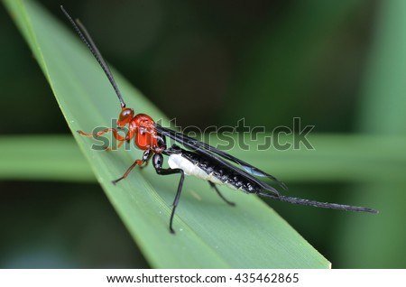 Braconid Wasp, Zombrus sp.