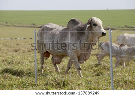 brahman bull in the field with fence - stock photo