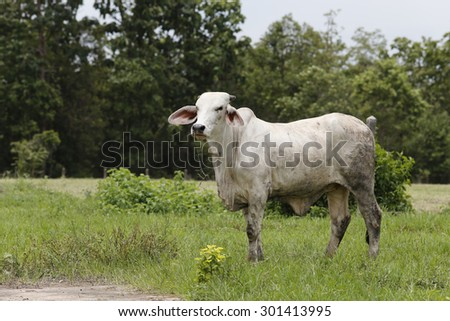 Brahman Cattle in stables - stock photo