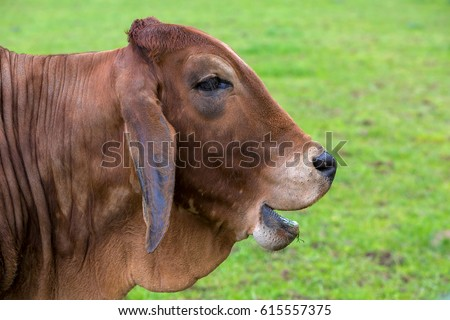 Brahman Cattle with smiling or laughing facial expression side profile portrait closeup