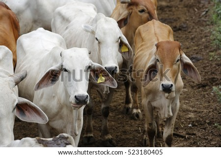 Brahman cow at a cattle farm