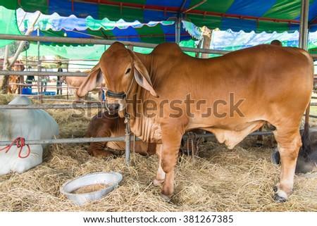 Brahman cow breed in cage,thailand,korat - stock photo
