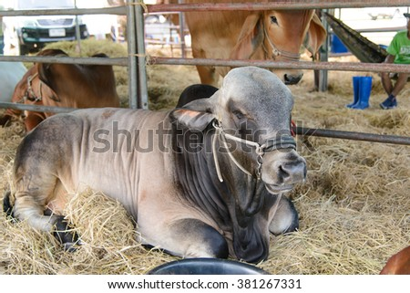 Brahman cow in cage,eat,brown,white,black - stock photo