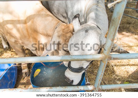 Brahman cows play together in cage,cute,lovely,korat,thailand - stock photo