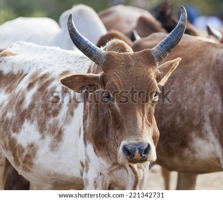 Brahman (or Zebu) bulls get prepared for bull jumping ceremony. Omo Valley, Ethiopia. - stock photo