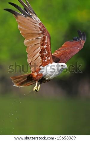 Brahminy Kite - stock photo