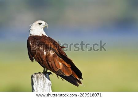 Brahminy kite, bird of prey in Arugam bay lagoon, Pottuvil, Sri Lanka ; specie Haliastur indus   - stock photo
