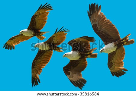 brahminy kite flying sequence isolated - stock photo