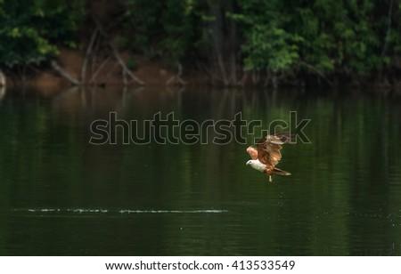 Brahminy kite(Haliastur indus) flying and catching on water  - stock photo