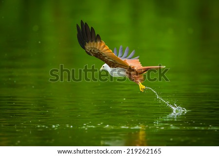 Brahminy kite(Haliastur indus) flying and catching on water in nature of Thailand  - stock photo