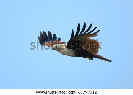 Brahminy Kite (Haliastur indus) flying over Vembanad Lake, southern India - stock photo