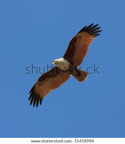 Brahminy kite hunting for fish. India, Kerala state, Varkala beach - stock photo