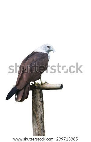 brahminy kite is holding branch isolated on white