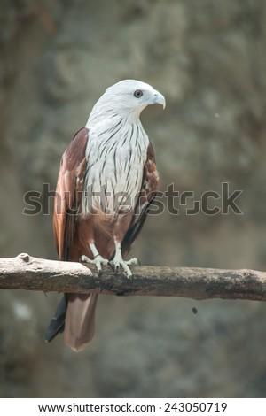 Brahminy Kite (Red-backed Sea Eagle) - stock photo