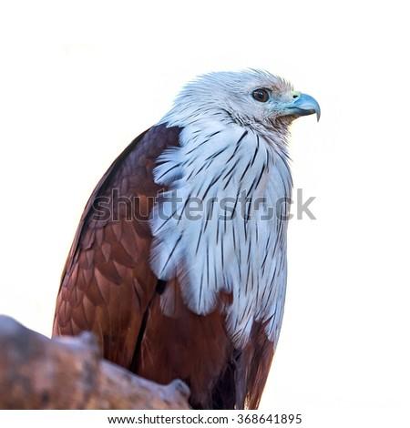 Brahminy Kite (Red-backed Sea Eagle, Haliastur indus) in zoo - stock photo