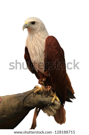 Brahminy Kite ,Red-backed Sea Eagle stand on the branch with clipping path - stock photo