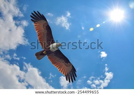 Brahminy Kite showing wing spread on sky and sun background - stock photo