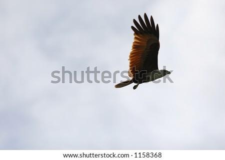 brahminy kites I - stock photo