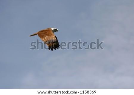 brahminy kites II - stock photo