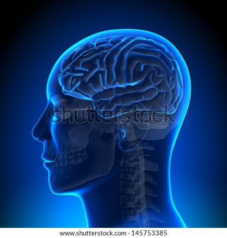 Brain Anatomy - Brain Blue Blank - stock photo