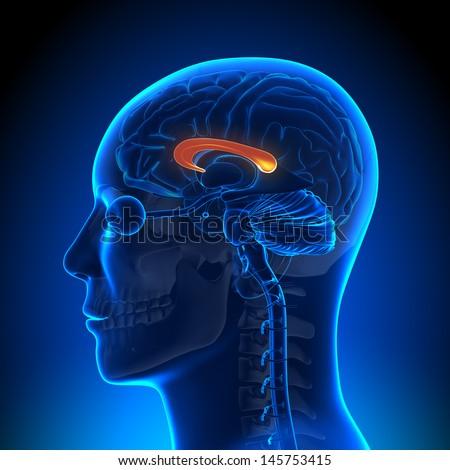 Brain Anatomy - Corpus Callosum - stock photo