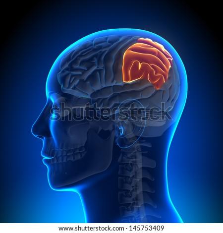 Brain Anatomy - Parietal lobe - stock photo