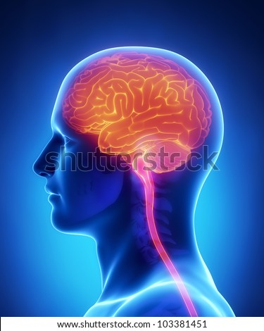 Brain and spinal cord anatomy  - cross section - stock photo