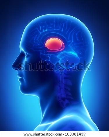 Brain  BASAL GANGLIA anatomy - cross section - stock photo