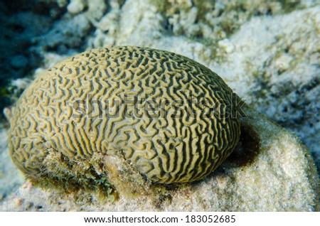Brain Coral - stock photo