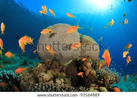 Brain Coral and Anthias Fish with Sunburst