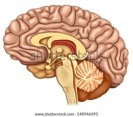 brain section with side - stock photo