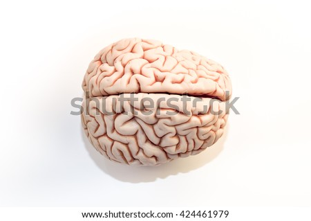 brain seen from above, isolated on white background