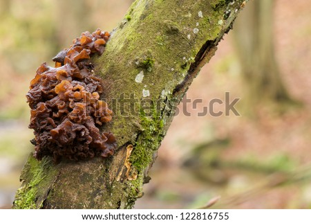 brain-shaped brown fungus growing on a mossy tree trunk - stock photo