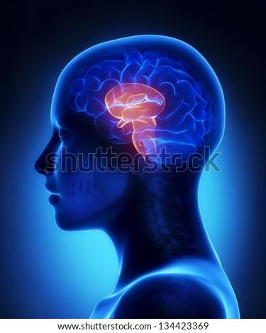 Brain stem - female brain anatomy lateral view - stock photo