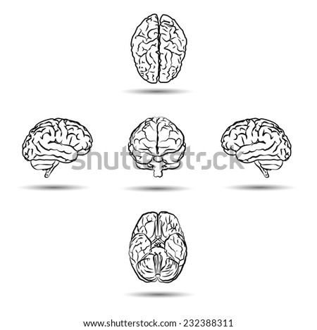 brains from different sides isolated on white - stock photo