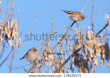Brambling (Fringilla montifringilla) eating seed from trees in winter - stock photo