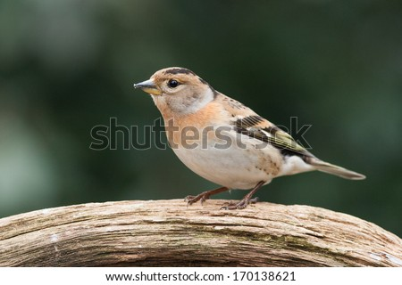 Brambling sitting on a branch with a green background