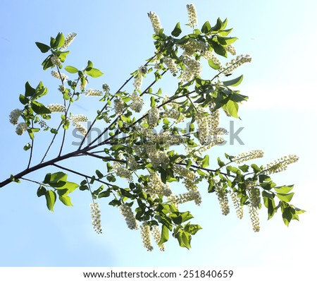 branch and blossom of bird cherry - stock photo