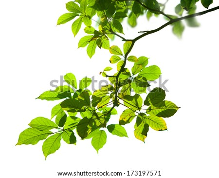 Branch and leaves isolate on white background - stock photo