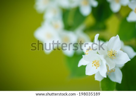 branch blooming jasmine on a green background - stock photo